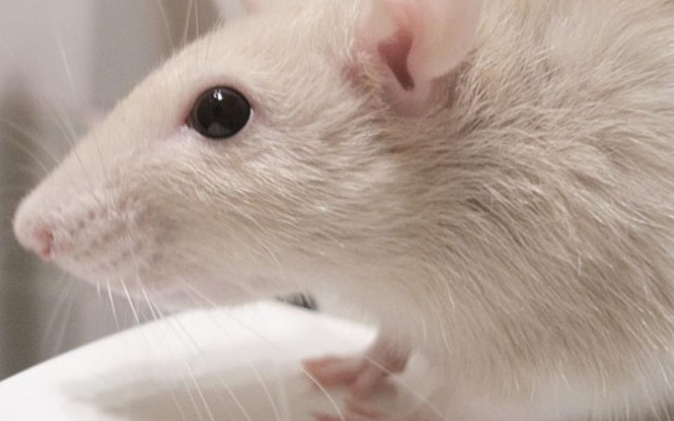 Cientistas conseguem reverter envelhecimento em ratos